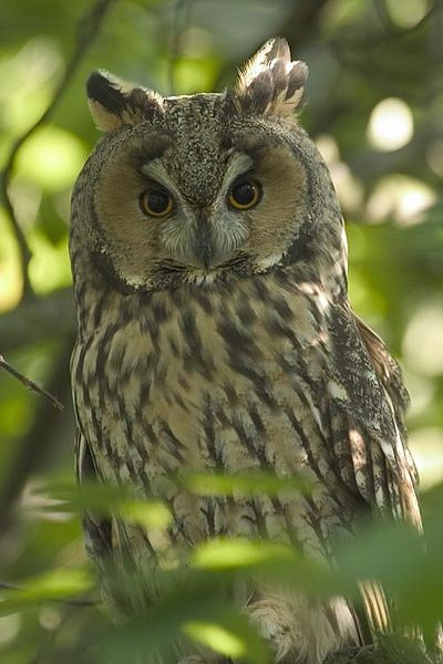 this looks like the Owl that visits us !!