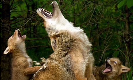 In 2013, US Wildlife Services killed 75,326 coyotes from a total cull of 4.3m animals, of which around 2m were native speices. Photograph: D...