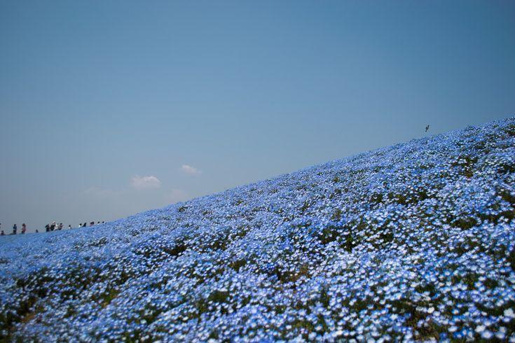 Hitachi Seaside Park near Hitachinaka, Ibaraki in Japan   13 Beautiful Fields Of Flowers Around The World