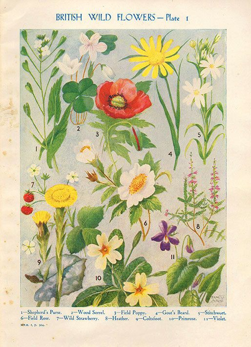Antique Botanical print British Wild Flowers by VintageInclination