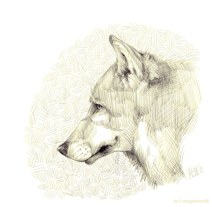 The old wolf by Morgenstern98.deviantart.com on @DeviantArt