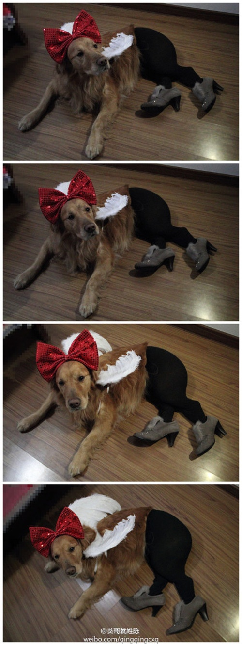 Crazy Owners! More Dogs Wearing Pantyhose!