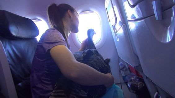 Woman Takes 70-Pound Pot-Bellied Pig on Plane For Support: 'He's Quieter Than Most Kids' - Inside Edition