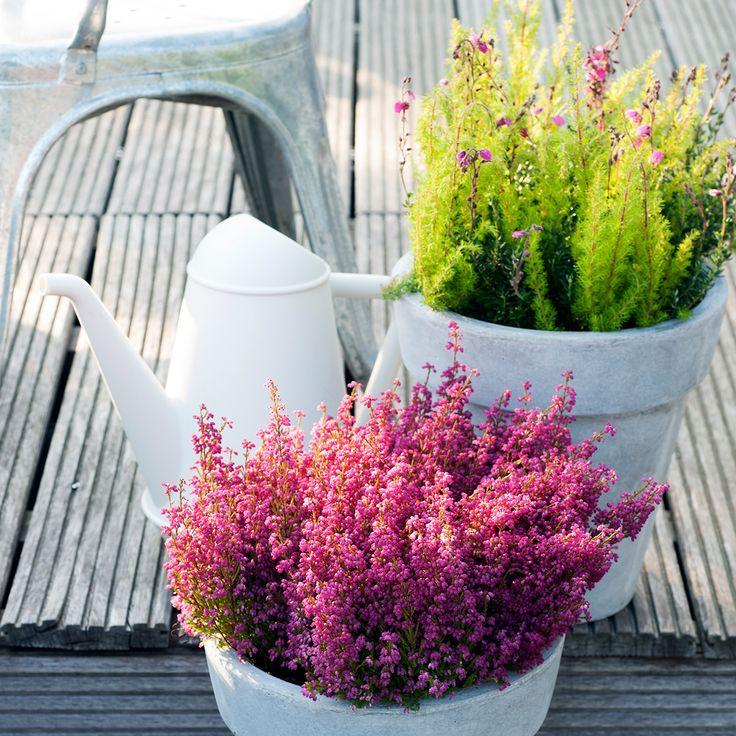 Bringt Farbe in euren Garten mit der Winterheide
