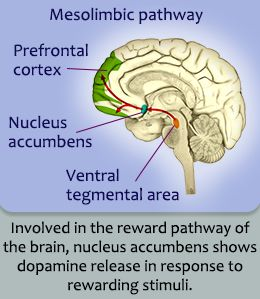 Structure And Serve As of the Nucleus Accumbens Defined In Detail