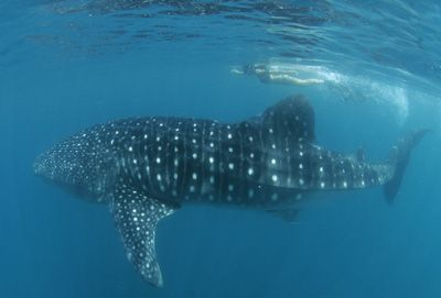 Swimming with whale sharks, I have always wanted to do this