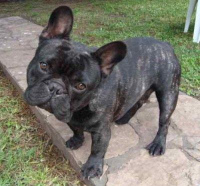 bulldog francés.- Brindle French Bulldog
