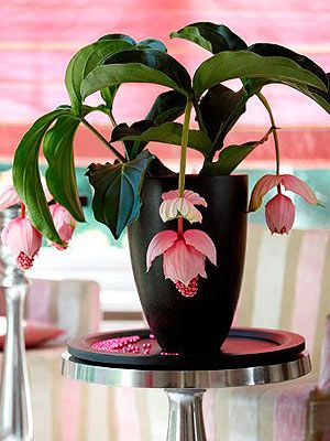gorgeous exotic pendulos powder pink flowers houseplant with oval dark green leaves never heard of or seen this plant but its pretty