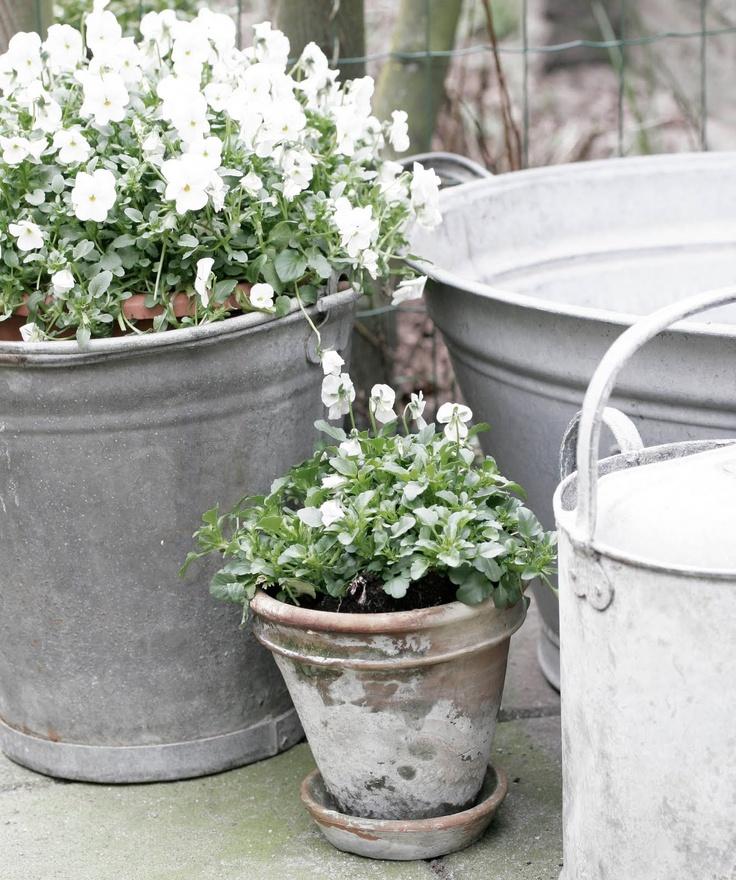 Zinc tubs with viola