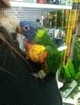 We at pet city Morley we have a beautiful hand raised Rainbow #lorikeet , looking for their new forever home.