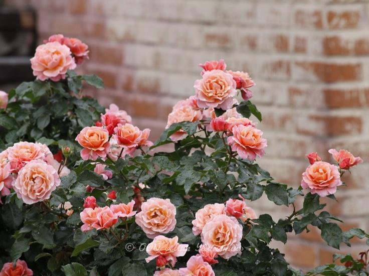 72 best images about roses on pinterest. Black Bedroom Furniture Sets. Home Design Ideas