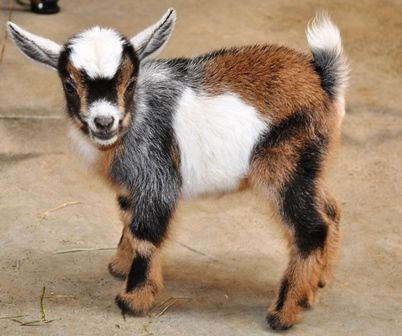This page has the sweetest story about a baby goat & a little blind girl. Grab a tissue :-) (photo - Obsidian as a baby)