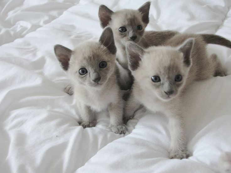 """tonkinese cat 