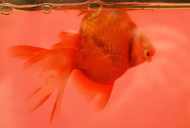 How+to+Treat+aSwim+Bladder+Disorder+in+Aquarium+Fish