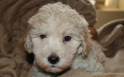F1B Mini Goldendoodle Puppies for Sale, Goldendoodle Breeder | | Mueller Pups