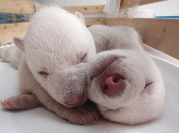 Twin baby polar bears, the male twins were born on 14 Oct, 2011.