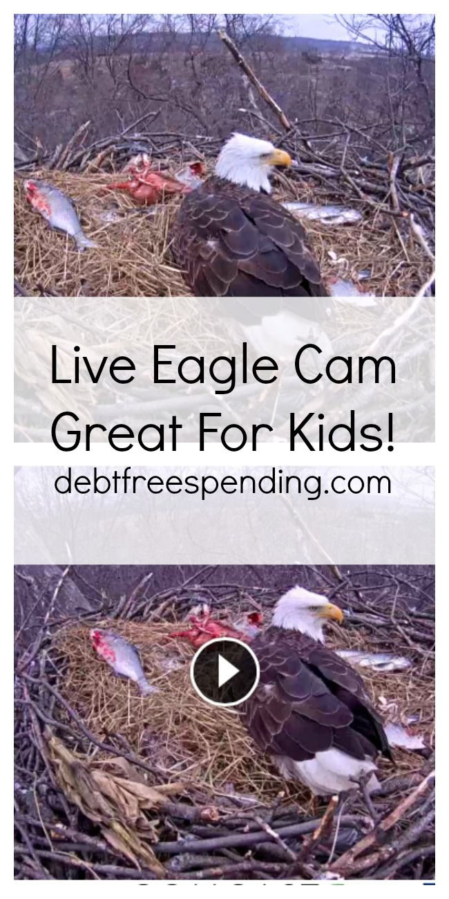 Live Eagle Cam: Great for teachers, parents, & homeschoolers to use to teach children! She just had babies!