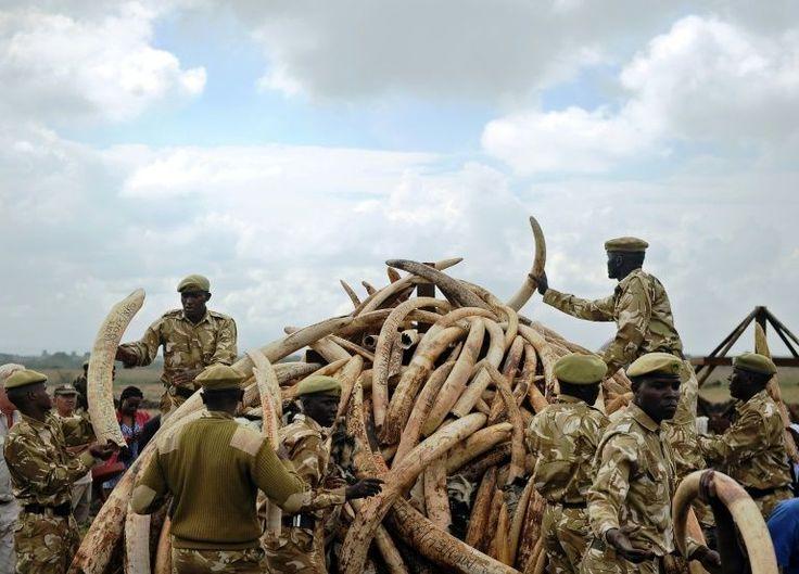 Serviços De Animais Selvagens do Quênia empilham presas de elefantes, de onde é extraído o marfim, no Quênia, em 30 de abril de 2016. A China, é o maior mercado mundial de marfim, ela diz que proibirá todo o comércio interno e processamento do chamado ouro branco a partir do fim de 2017.