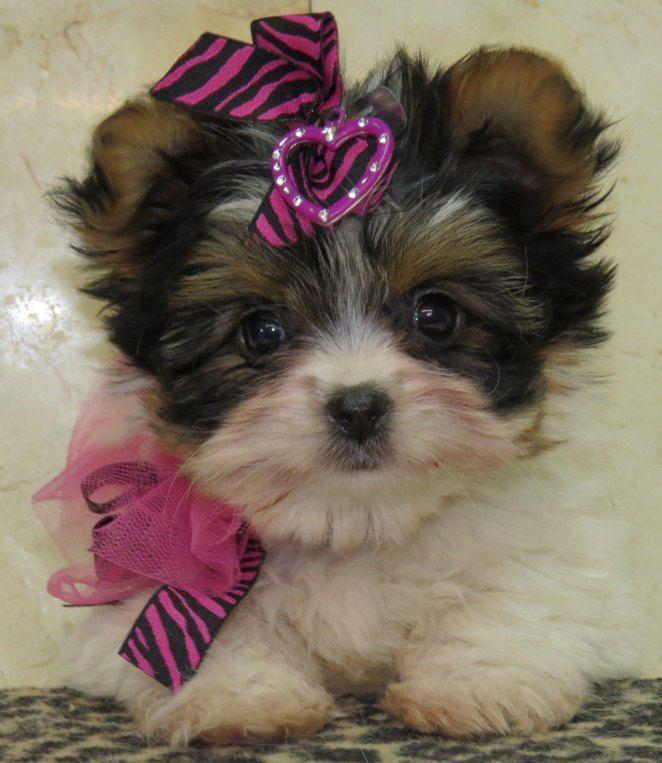 Pin On Puppy Yorkie