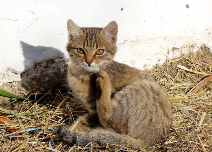Reconnaître et soigner la gale chez le chat - Animalaxy