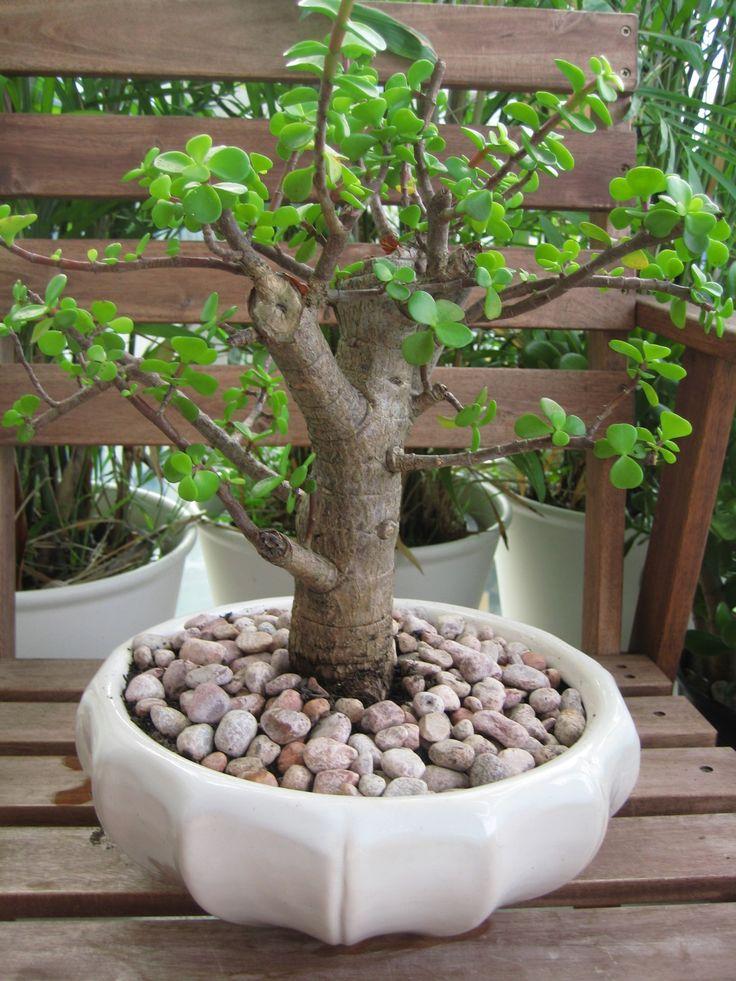 Google Image Result for http://juiced.files.wordpress.com/2008/12/bonsai-jade-plant.jpg