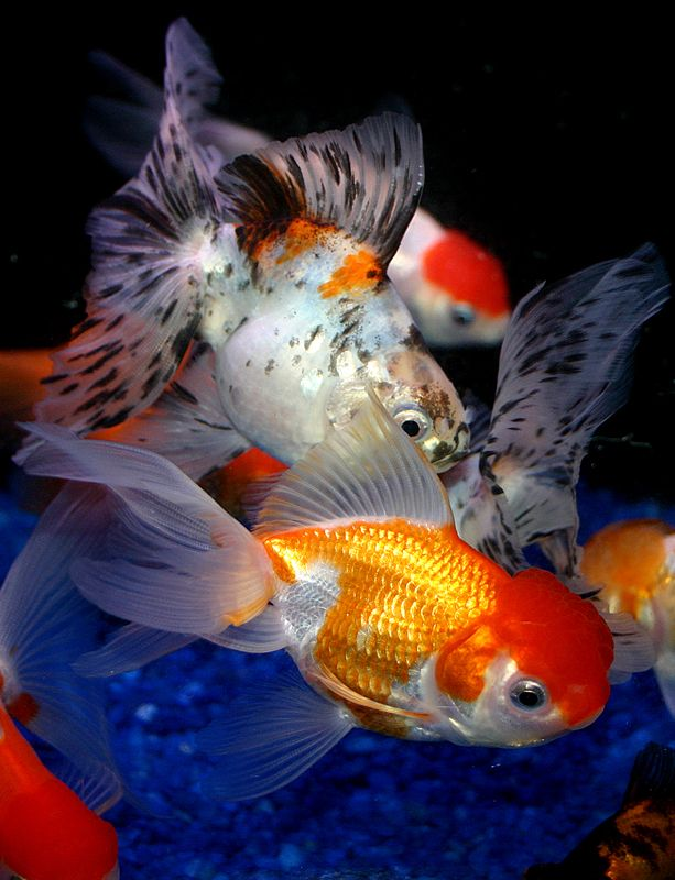 17 best images about freshwater on pinterest for Freshwater pond fish