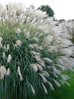 Miscanthus sinensis 'Hermann Müssel' - can be added between roses in a large enough border. It grows up to 120 -170 cm in height and appr. 130 cm in spread