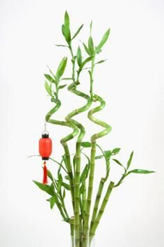 Ever wondered how those lucky bamboos curl? http://www.gardenguides.com/108287-curl-lucky-bamboo.html garden gardening