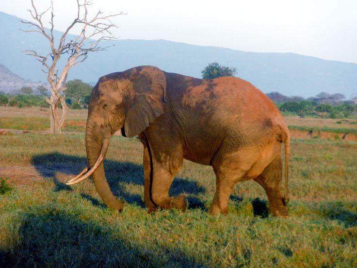 Elefante_nella_savana.JPG (2048×1536)