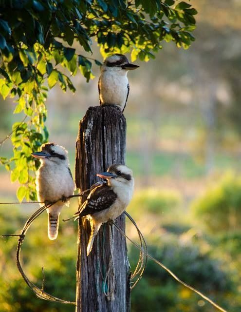 """rustic & rural ~ in the land 'down under' ~ """"the kookaburras sit in the old gum tree"""""""