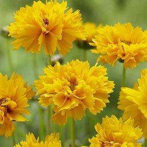 Die besten mehrjährigen Blumen für endlose schöne mehrjährige Grenzen   – Garten