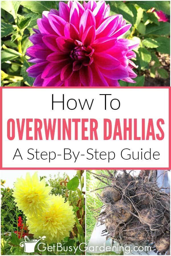 How To Store Dahlia Bulbs Storing Dahlia Tubers Over Winter In 2020 Fall Flowers Garden Planting Bulbs Planting Dahlias