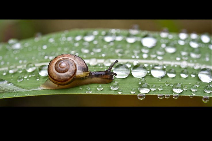 A snail crawls on leaf with raindrops in a garden in Briesen, eastern Germany, Sunday. Weather forecasts predict changeable weather and warm...