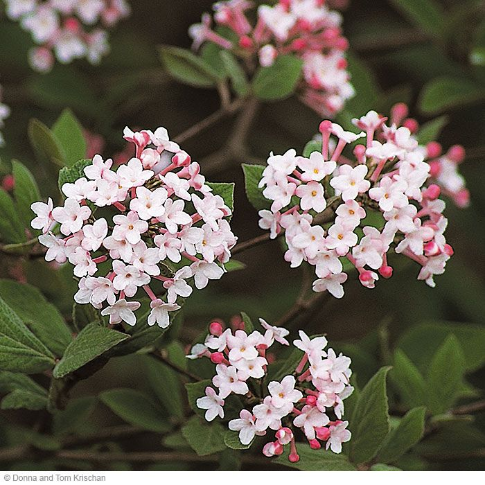 Koreanspice viburnum - Viburnum carlesii. In spring, Koreanspice viburnum's rose-pink blooms give off a spicy carnation scent. And its gray-green, pest-resistant foliage will look great even after the flowers have gone! Full sun to part shade. Soil: Well-drained, slightly acid.