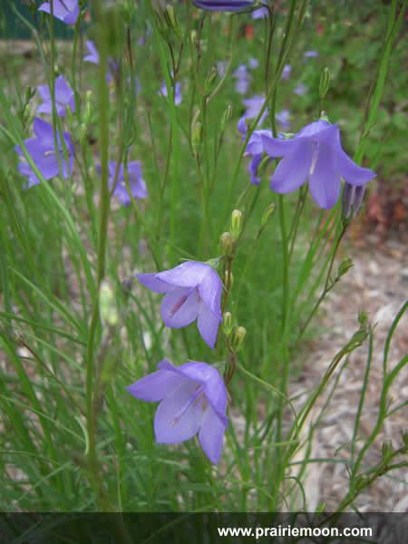 30 best oklahoma native plants images on pinterest native plants harebell is a delicate beauty with small blue violet bell shaped flowers that nod from the tips of slender stems it prefers dry soils and blooms in publicscrutiny Image collections