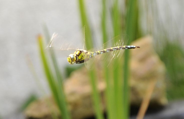 Home Aug 16 Southern Hawker