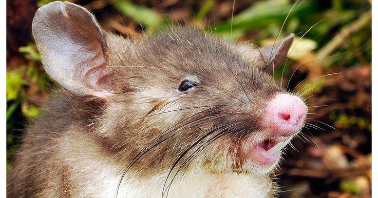 Le mammifère a des narines de porc en miniature.