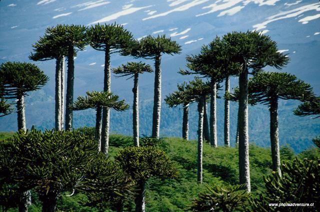bosque de araucarias, árbol nativo chileno.
