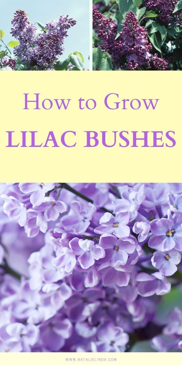 How To Grow A Lilac Bush For Beautiful Blooms In The Spring In 2020 Lilac Bushes Flower Garden Care Flower Garden Design