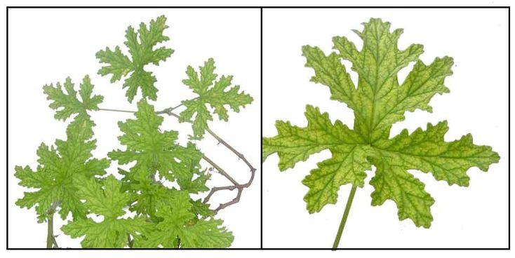 Hierbas medicinales filipinas filipinas medicina for Hierbas y plantas medicinales
