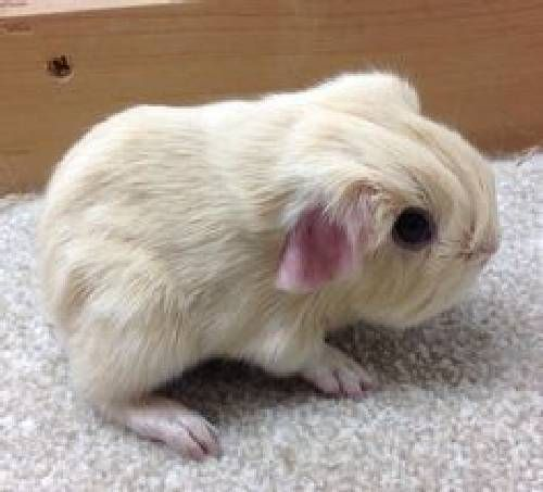 ♥ Spiffy Pet Stuff ♥  Small Pets are so cute like this baby guinea pig - ADORABLE!