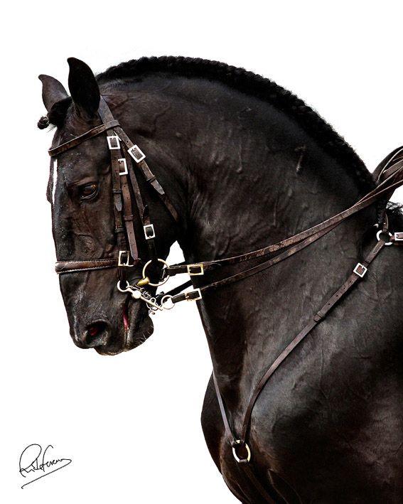 Cavalo Lusitano                                                                                                                                                                                 Mais