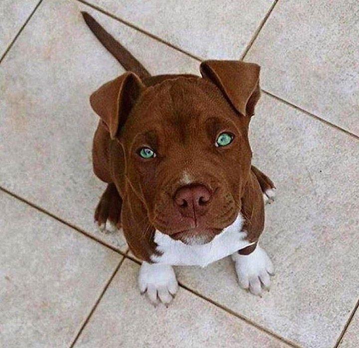 Beautiful pit bull pup