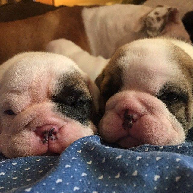 Brand new English bulldog puppies!