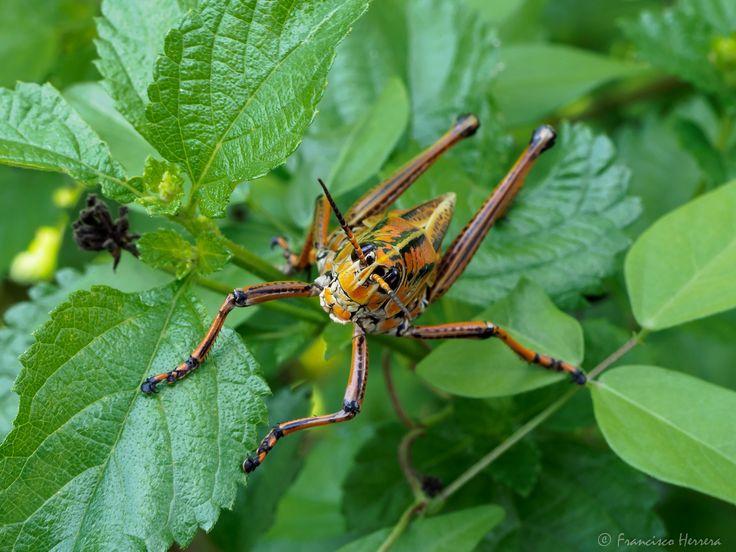 https://flic.kr/p/WciPaG | Romalea microptera - Eastern lubber grasshopper | Romalea microptera - Eastern lubber grasshopper  Big Cypress Oasis Visitor Center
