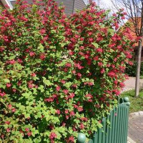 Sträucher als Sichtschutz Was wächst schnell? Garten