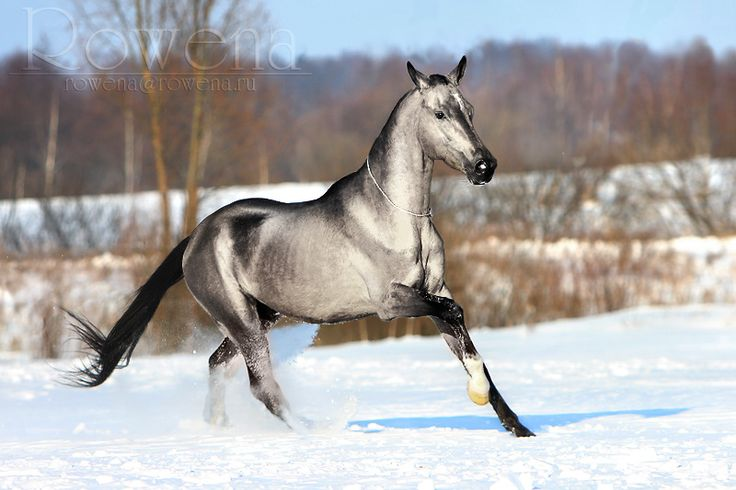 A silver-colored Akhal Teke. I cannot actually say what color this is. Probably a gray with a lovely phase of getting white.