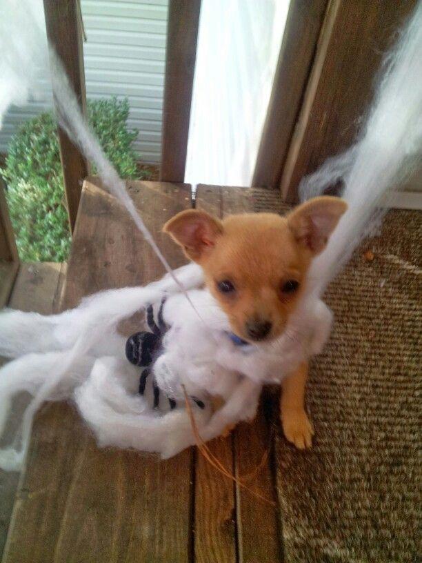 Chipom max puppy