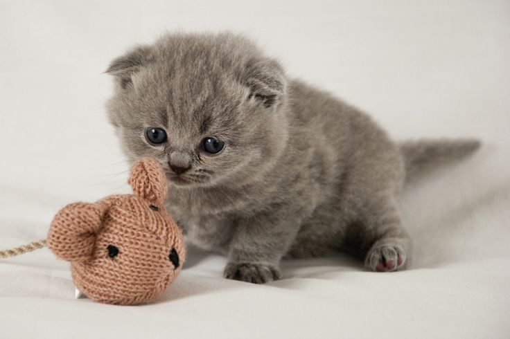 Grey Scottish Fold Kitten Scottish Fold Kittens Cat Scottish Fold Munchkin Kittens For Sale
