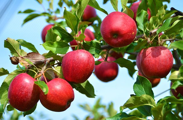 Pick-Your-Own Apple Farms and Orchards in NY, NJ, and CT